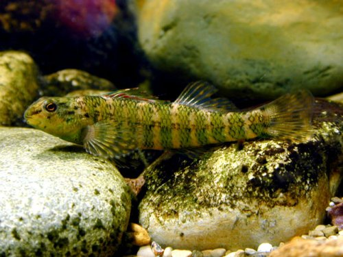 Banded Darter on-the-rocks. Photo Copyright ?Todd D. Crail .